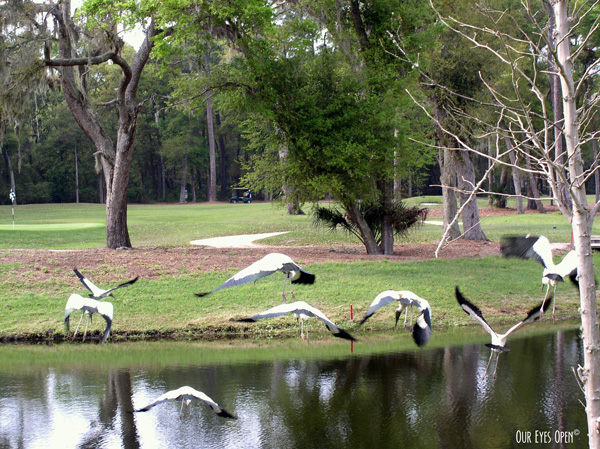 A flock of Wood Storks at a golf course in Tampa, Florida.