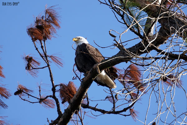 The National Bird of the United States, the Bald Eagle perched high in a tree.