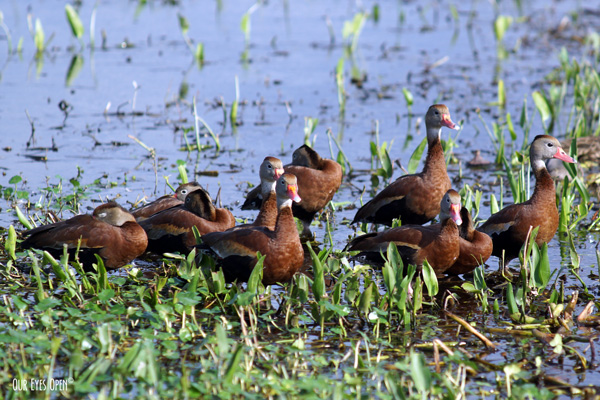 Black-bellied Whistling-Ducks gathered in the marsh at Orlando Wetlands in Christmas, Florida.