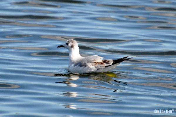 Bonaparte's Gull swimming in one of the many ponds at St. Mark's Wildlife Refuge near Tallahassee, Florida.
