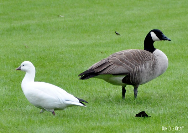 Rare sighting of a Ross's Goose that flew in with a flock of Canada Geese to Jacksonville, Florida a few years ago.