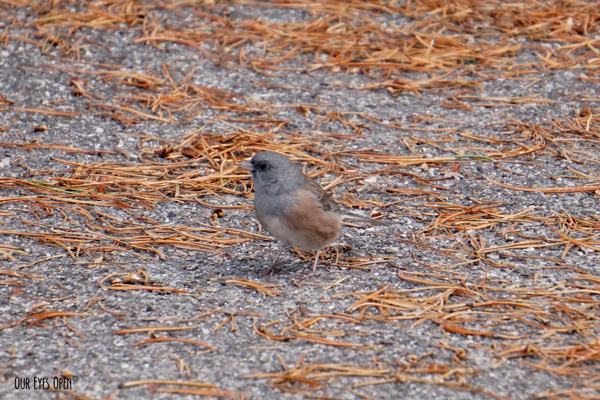 Dark-eyed Junco (pink-sided) seen at String Lake in the Grand Teton National Park.
