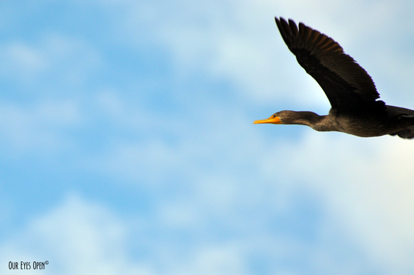 Double-crested Cormorant flying amongst blue skies with some white fluffy clouds.