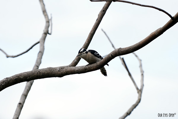 Female Downy Woodpecker perched on our manmade tree system where I feeders are located.