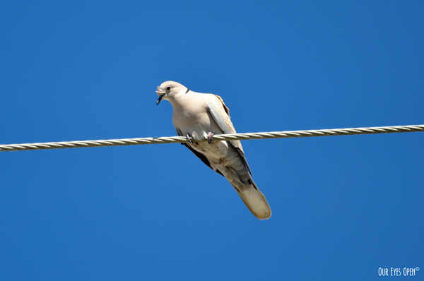 Eurasian-collared Dove perched on a wire in front of blue skies.