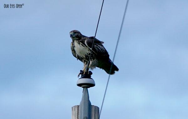 Ferruginous Hawk see on a power pole in Montana.