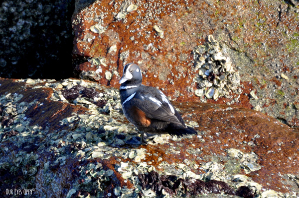 Harlequin Duck perched on a rock at Fort Clinch in Fernandina, Florida. This was a rare bird for the area.