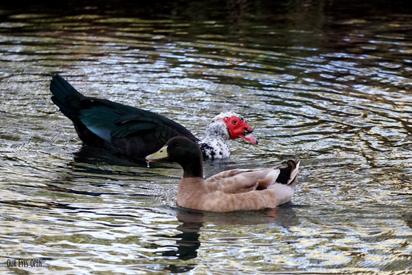 Domestic Muscovy Duck hanging out with a Mallard in the cemetery lake.