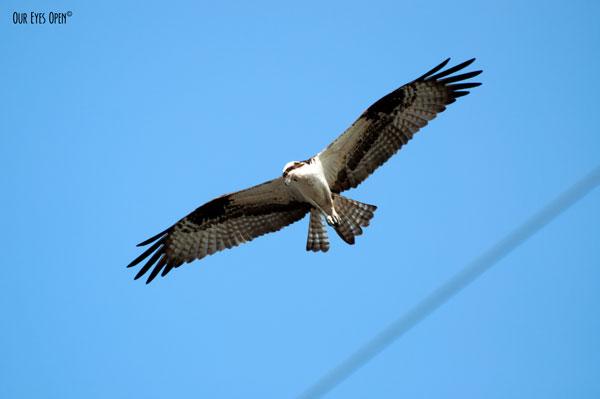 Osprey in flight hunting for fish.