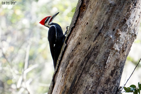 Pileated Woodpecker climbing and pecking for insects in Okefenokee Wildlife Refuge area in Georgia.