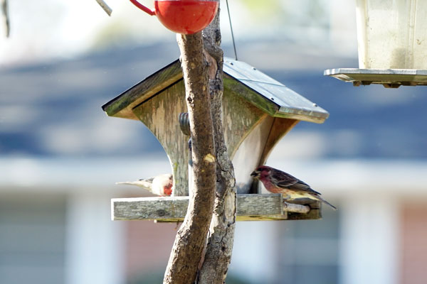 Uncommon male Purple Finch on the left and a male House Finch on the right eating away at the feeders.