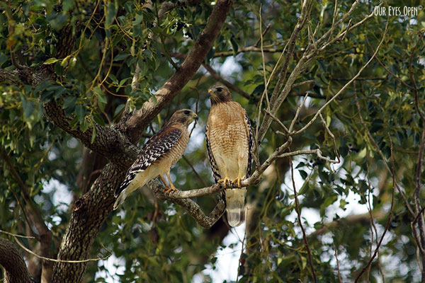 Red-shouldered Hawks paired up perched in a tree.