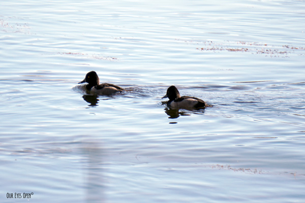 Ring-necked Ducks in a pond in Wyoming.