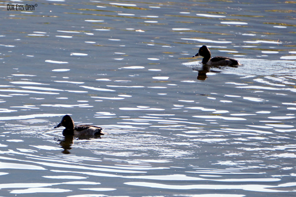 Ring-necked Ducks in a pond in Montana.