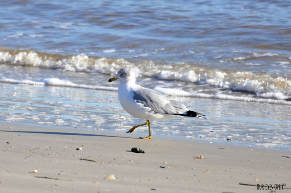 Ring-billed Gull at Little Talbot Island State Park prancing along the beach.