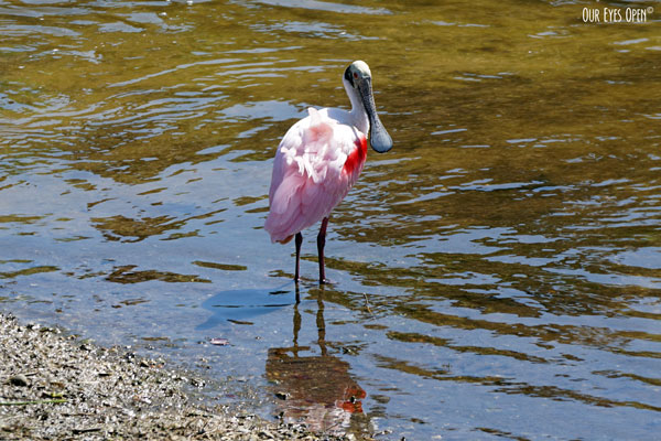 Roseate Spoonbill caught red-handed scouring the river near Viera, Florida.