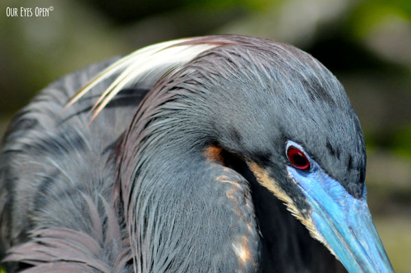 Close up of an adult breeding Tricolored Heron.