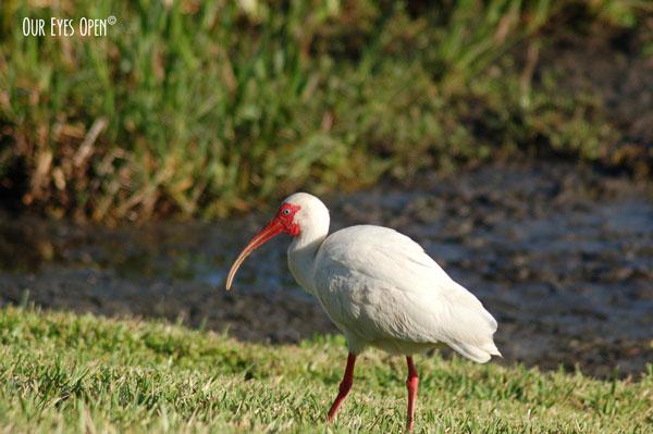 White Ibis searching for grubs.