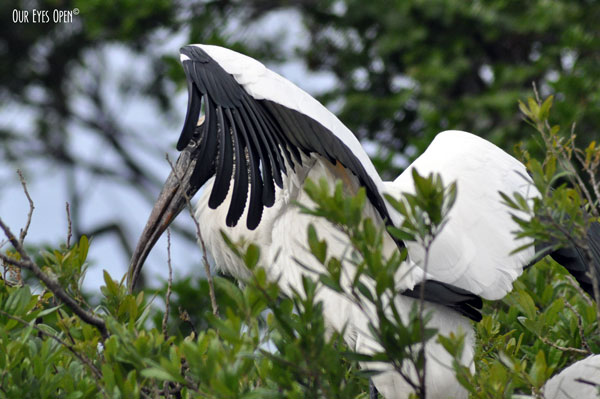 Wood Storks building a nest at the Alligator Farm in St. Augustine, Florida.  This one has just flown in with a stick.