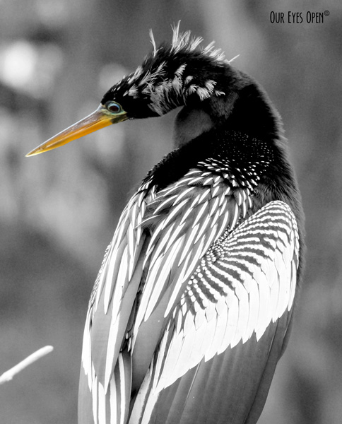 Anhinga posing for the camera. Photo is black and white leaving the eye and beak in color for nice contrast.