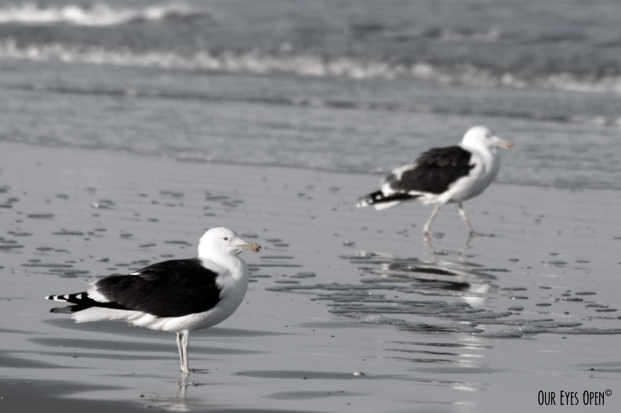 Black-backed Gulls chilling at the beach.