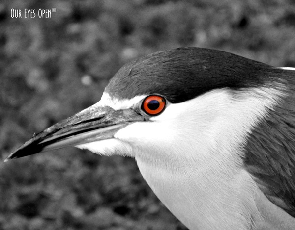Close up photo of a Black-crowned Night Heron at Lettuce Lake Park in Tampa, Florida.