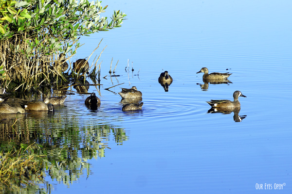 A flock of Blue-winged Teals are resting and foraging in the mangroves at Merritt Island Wildlife Refuge.