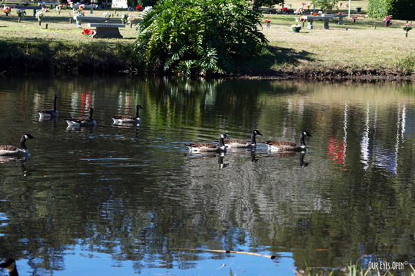 Canada Geese frequent the cemetery where relatives are resting.  There was a medium size flock floating in the pond, reflections cast as they swam by.
