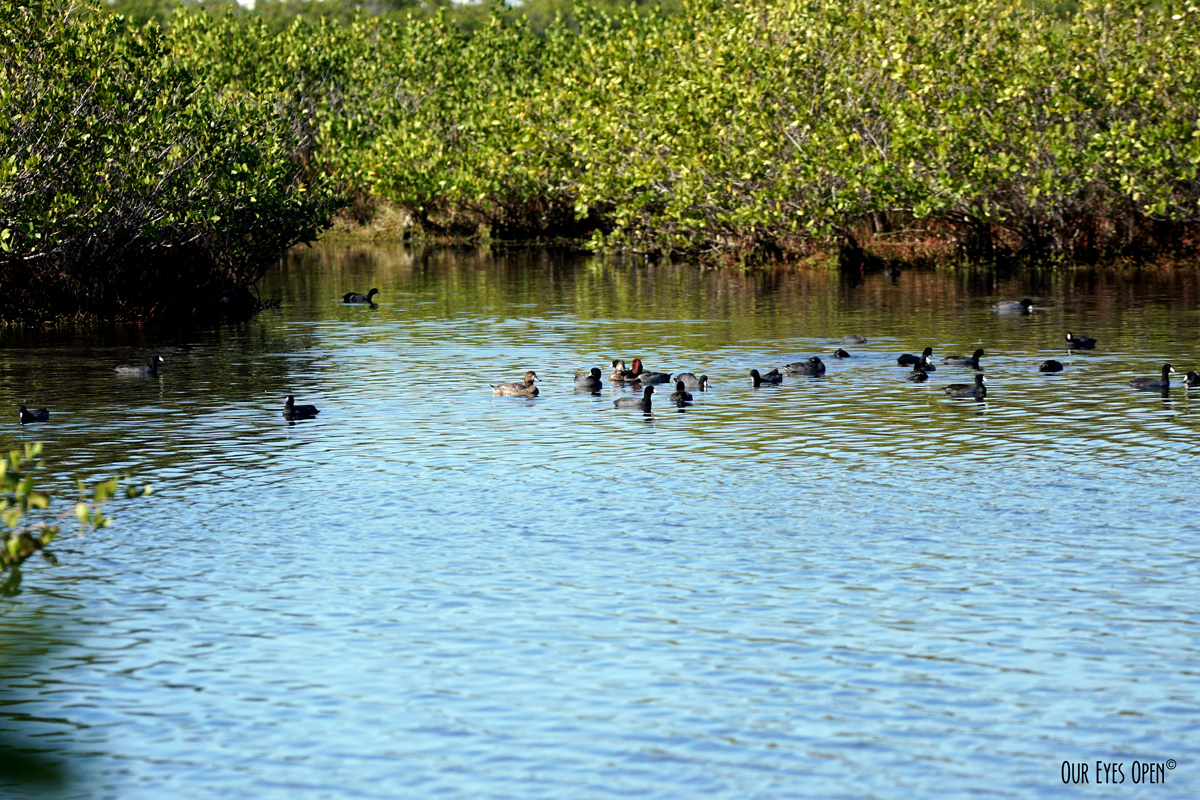 Redheads and Coots float around the Mangroves at Merritt Island Wildlife Refuge in Florida.