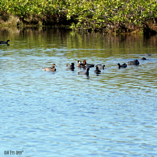 Redheads and American Coots float around the Mangroves at Merritt Island Wildlife Refuge near Titusville, Florida.