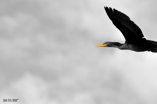 Cormorant flying over where I was birding. Photo is in black and white with selective color on the bill and eye area.