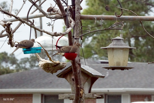 Mourning Doves feeding before the storm hits.