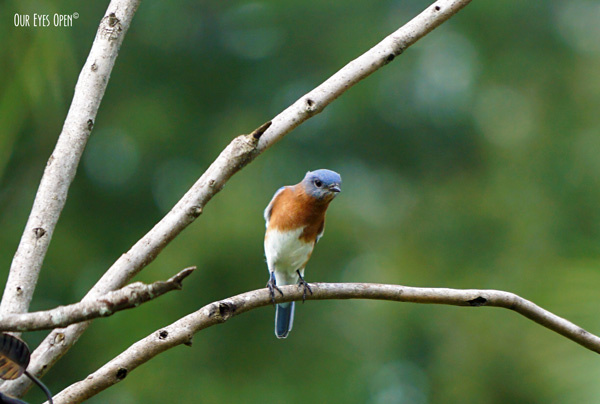 Curious Eastern Bluebird perched up on the branches above our bird feeders.