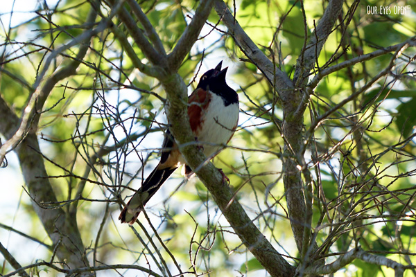 Eastern Towhee singing from a tree in St. Marks Wildlife Refuge.