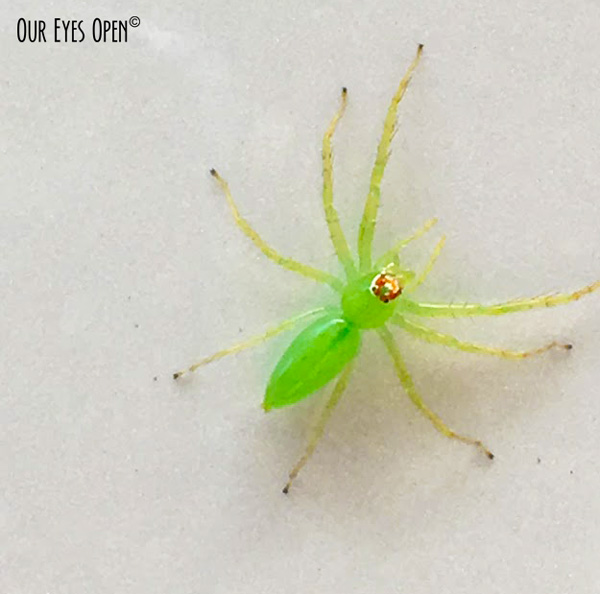 "This small green spider was hanging on to the door of my car.  It was smaller than a US dime - 1/2"" (1.27 cm)."