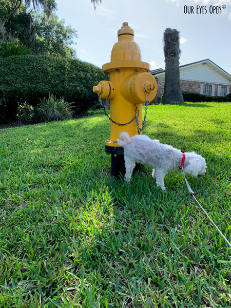Heaven, our bichon frise hiking her leg on a yellow fire hydrant.  Yes, she thinks she is a boy dog.