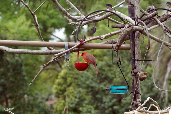 Male Northern Cardinal feeding just before the next storm.