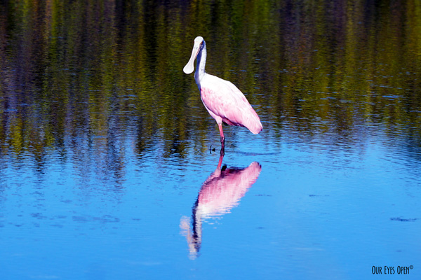 Roseate Spoonbill is being indecisive with resting and foraging.  Looked right at me in all pink and white with a beautiful pink reflection in the blue water.