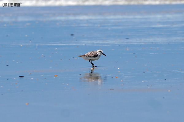 Sanderling paused for a second for me to capture this shot at Little Talbot Island State Park in Jacksonville, Florida.