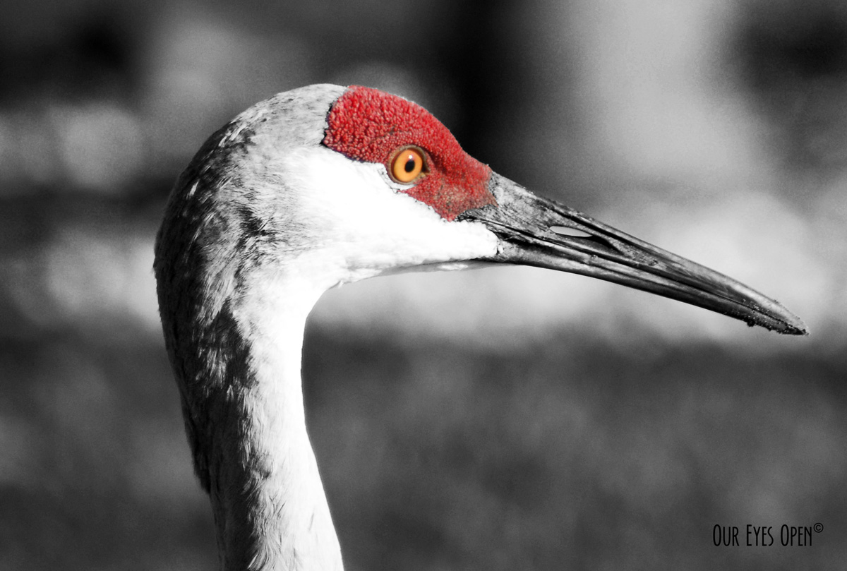 Black and white image with some selective color of a Sandhill Crane. Closeup headshot.