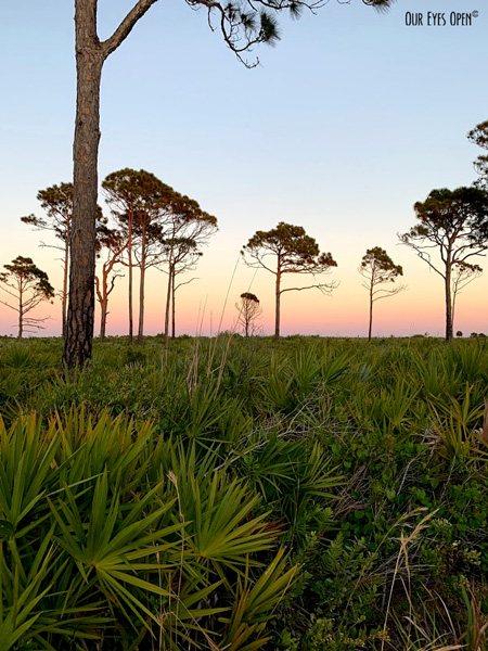 View looking over the palmetto and pine trees along Scrub Jay Trail at Merritt Island Wildlife Refuge just before sunset.