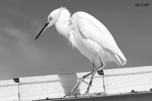 Snowy Egret prancing on top of a roof on the pier at Fort Desoto Park near St. Petersburg, Florida.