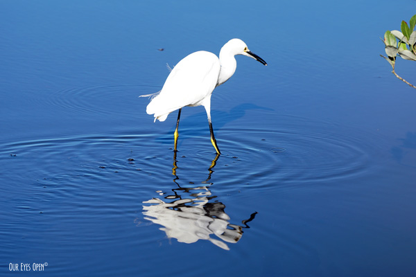 Snowy Egret is foraging in the mangroves leaving several rings in the blue water as it patiently walks forward providing a disturbed reflection.