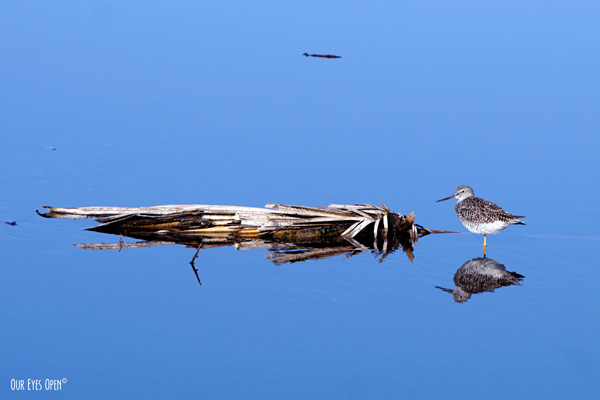 Lesser Yellowlegs standing near a fallen palm frond in shallow water with a beautiful reflection.