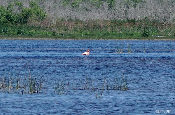American Flamingo seen in the salt marsh at St. Marks Wildlife Refuge in spring of 2020.