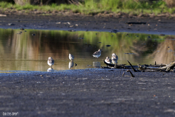 Black-bellied Plovers found in one of the back ponds behind the tower at St. Marks Wildlife Refuge.