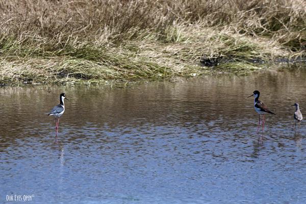 Black-necked Stilts foraging in near one of the spillways at St. Marks Wildlife Refuge.