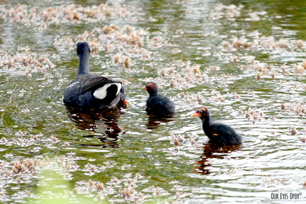 Common Gallinule with baby chicks at Merritt Island Wildlife Rescue in Titusville, Florida.