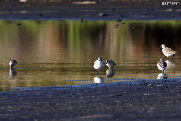 One Dunlin was feeding with the Black-bellied Plovers at St. Marks Wildlife Refuge.