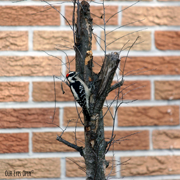 Male Downy Woodpecker digging insects out of a small rotted tree on the side of the funeral home up the street.